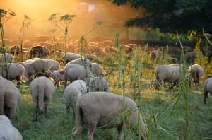 Schafe im Ruhrgebiet